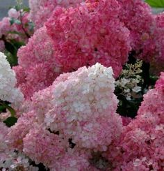 Buy hydrangea Hydrangea paniculata 'Vanille Fraise = 'Renhy' (PBR)': Delivery by Crocus Flowering Shrubs For Shade, Shade Shrubs, Trees And Shrubs, Garden Plants, House Plants, Vanilla Strawberry Hydrangea, Hydrangea Landscaping, Landscaping Ideas, Backyard Landscaping