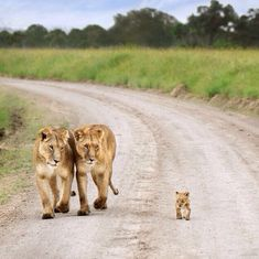 This is cute..can you imagine going on a safari tour and seeing a lion family strolling about? #gottagotoafrica! www.annjaneliving.com