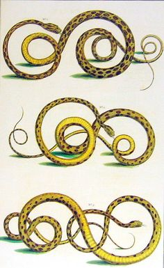 Snakes, Serpents Seba Book Print Cabinet of Natural Curiosities p151. $10.00, via Etsy.