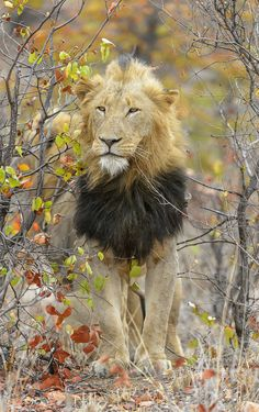 Lion looking for prey. by Mark Wiseman on 500px