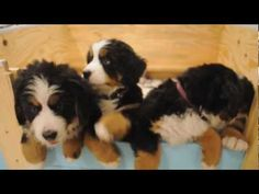 Take a look at these incredibly adorable Bernese Mountain Dog puppies - they are now 8 weeks old! Filmed by Chicago Pet Video. See more videos at http://www.chicagopetvideo.com