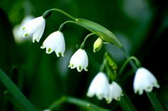 Snowdrops, Spring, Peachtree Heights East