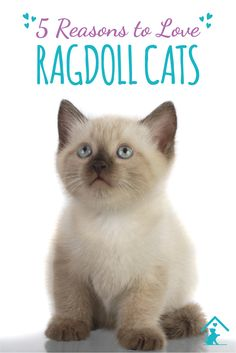 Cat Care Indoors Click the pin to see why we love the Ragdoll cat breed! I Love Cats, Crazy Cats, Ragdoll Cat Breed, Cat Shots, Behavioral Issues, Cat Care Tips, Buy A Cat, Litter Box, Beautiful Cats