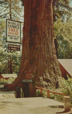 Chandelier Tree Underwood Park Yosemite 1950 by StuckyEstateSale ...