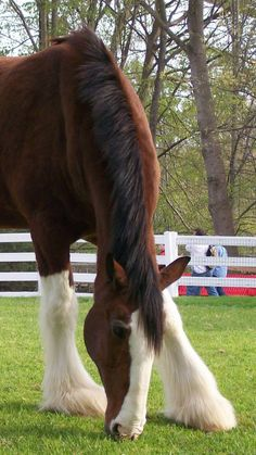 Clydesdale horse grazing.