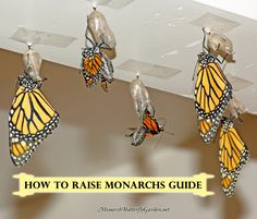 136 best The Best of Monarch Butterfly Garden images on Pinterest     How to Raise Monarch Butterflies Book  Instant Download