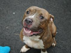 SAFE 7/20/13 Manhattan FERG A0970945  MALE BRINDLE PIT BULL MIX, 1yr Ferg did join us as a stray but was more than likely a family member not too long ago as he has sound leash manners and sits nicely for treats Ferg is an adorable, two-year-old, AVERAGE-rated guy who deserves so much more than a black body bag! PLS step-up to adopt/foster him tonite b/c tomorrow it will be too late  https://www.facebook.com/photo.php?fbid=638725802806969=a.617938651552351.1073741868.152876678058553=3