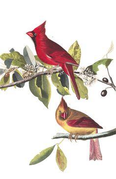 "John James Audubon Kardinaal Vogel ""Cardinal Grosbeak"" - John J. Audubon's Birds of America Audubon Prints, Audubon Birds, Vintage Bird Illustration, Victorian Illustration, Birds Of America, John James Audubon, Cardinal Birds, Bird Drawings, Vintage Birds"