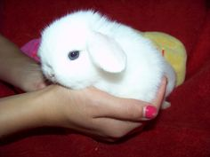 Blue eyed white Holland lop bunny