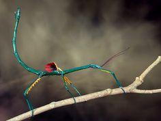 Madagascar, Artist Canvas, Canvas Art, A Bug's Life, Beautiful Bugs, Praying Mantis, Gray Background, Surf Shop, Really Cool Stuff