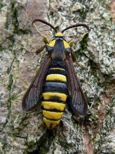 Hornet Moth (Sesia apiformis) female