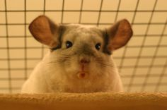 Besides their usual food such as feed mixes and pellets, your pet needs an adequate supply of fresh clean hay and clean (not tap) water. MOre at URL: http://chinchilla.co/ Fb fan page: https://www.facebook.com/LoveChinchilla