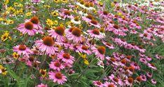 léto - třapatkovka Echinacea mix