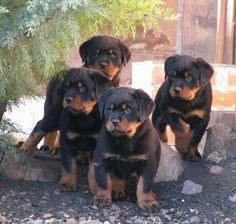 Rottweiler siblings...