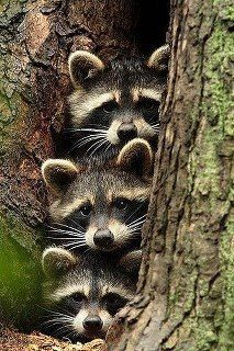Awww, love coons, even if they will rip your face off. :P