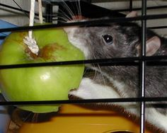 Hang some apple or carrot to keep your ratties amused.