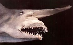 The Goblin shark( Mitsukurina owstoni ) is a rare species .As you can see,it is in fact far more hideous than the prehistoric shark that it resembles