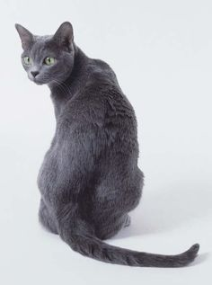 Korat Cat, looks just like my cat Kiara, but she is not a korat!
