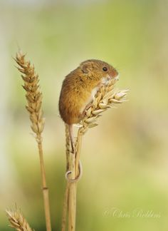 Harvest Mouse by Chris Robbins on 500px