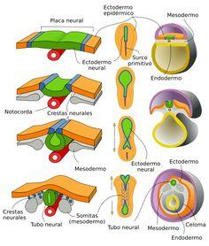 Female Reproductive System Anatomy, Arteries Anatomy, Gcse Science, Study Biology, Medicine Notes, Cardiac Nursing, Medical Pictures, Medical Anatomy, Nursing Notes