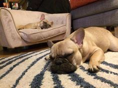Nap time for 2 French Bulldogs, 'now THAT'S living'.