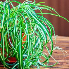 The Best Houseplants that Remove Pollution (They're Pretty, Too!) by Dr. Josh Axe The Best Houseplants that Remove Pollution (They're Pretty, Too! Sick Building Syndrome, Spider Plants, Natural Cleaning Products, Garden Spaces, Types Of Plants, Tropical Plants, Natural Living, Houseplants, Indoor Plants