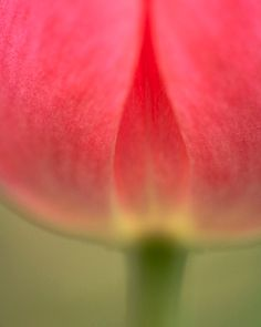 Red tulip abstract fine art photographic by LynnLehtoPhotography