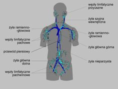 zdjęcie układu limfatycznego - Szukaj w Google Google