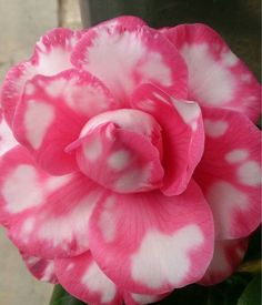 Pink And White Desert Rose Flowers Seeds Perennial DIY Home Garden Bonsai Pot Blue Color Adenium Obesum Plant Seeds Exotic Flowers, Amazing Flowers, Beautiful Roses, Beautiful Flowers, Rose Flowers, Diy Flowers, Bonsai Garden, Garden Plants, Desert Rose Plant
