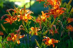 "Hemerocallis fulva are called ""ditch lilies"" because they deal well with excess water"