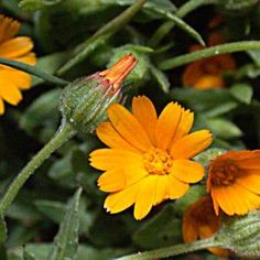 11 plante medicinale pentru un ficat sanatos - Infuzie de Sănătate Aloe, Good To Know, Herbalism, Remedies, Medical, Hair Styles, Health, Plants, Floral