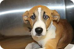1/21/14 ADOPTED!!!!Northwood, NH - Husky/Boxer Mix. Meet Babe a Puppy for Adoption.