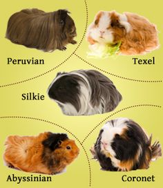 Common breeds of guinea pigs