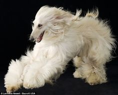 Beautiful Afghan Hound.