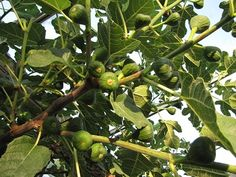 Everything about figtree's (vijgenboom) Ficus, Allotment, Delft, Go Outside, Diana, Home And Garden, Plants, Balcony, Flora