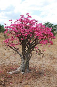 Adenio o rosa del desierto: la flor que despierta del fr�o