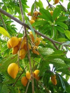 Canistel or yellow sapote fruits on tree.