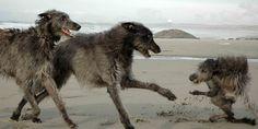 Scottish Deerhounds playing on the beach