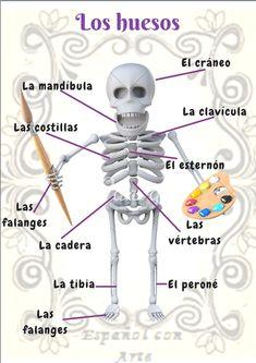 Los huesos del cuerpo humano en Español con Arte