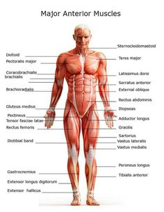Back Muscles Anatomy Lower Back Muscles Anatomy Human Anatomy ...