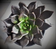 Echeveria 'Black Prince'  4 span   Live Succulent by KiKiBeauTeak