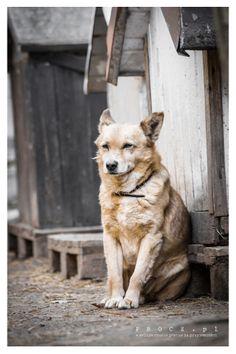 Baksio pies do adopcji ze Schroniska w Koninie