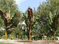garden web forums ensete bananas