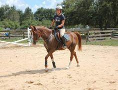 Lyric - Chestnut  Arabian Gelding in Clermont, Florida 34715