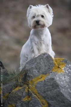 Westie West Highland White Terriers Dogs by Jinx62