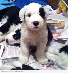 Old English Sheepdog puppy*