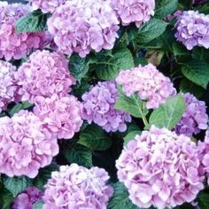 When to cut spent hydrangea blooms Jupiterimages/Photos.com/Getty Images