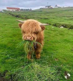 Highland cow munching on some lunch The Animals, Baby Animals Pictures, Cute Animal Photos, Cute Little Animals, Cute Funny Animals, Pictures Of Cute Animals, Wild Animals, Cow Pictures, Cute Baby Cow