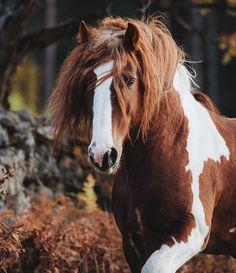 Tinker stallion Romany King of Heyer  owned by Mörkaskogs Tinkers, Sweden. #equinebywengdahl