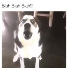 Funny Animal Jokes, Funny Dog Memes, Funny Dog Videos, Funny Animal Pictures, Animal Memes, Funny Husky, Cute Funny Dogs, Cute Funny Animals, Funny Animals With Captions